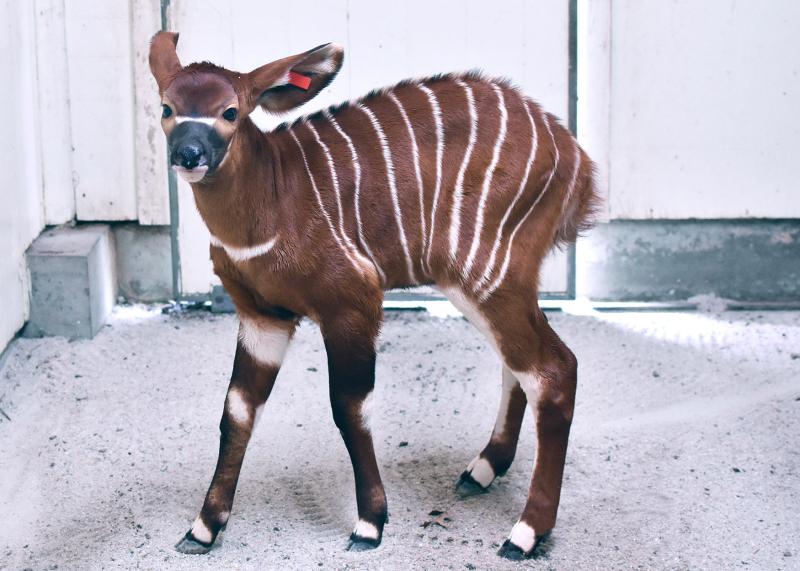 Virginia Zoo Bongo BabyC