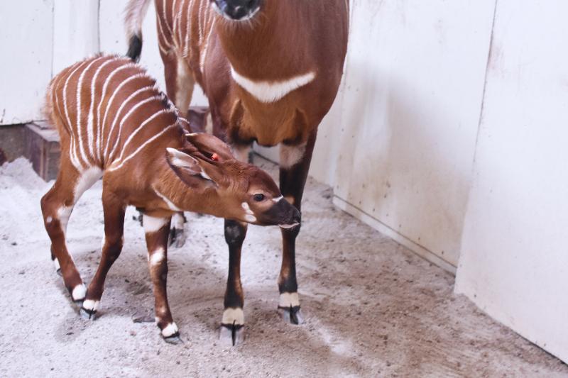 Virginia Zoo Bongo BabyB