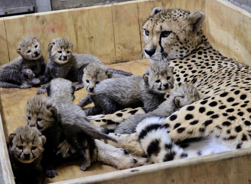 7_Cheetah cubs 3 weeks old 12-18-17_credit Carolyn Kelly Saint Louis Zoo_web