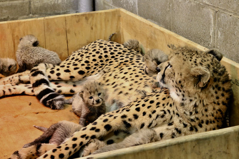 5_Cheetah cubs 3 weeks old 12-19-17_credit Carolyn Kelly Saint Louis Zoo_web