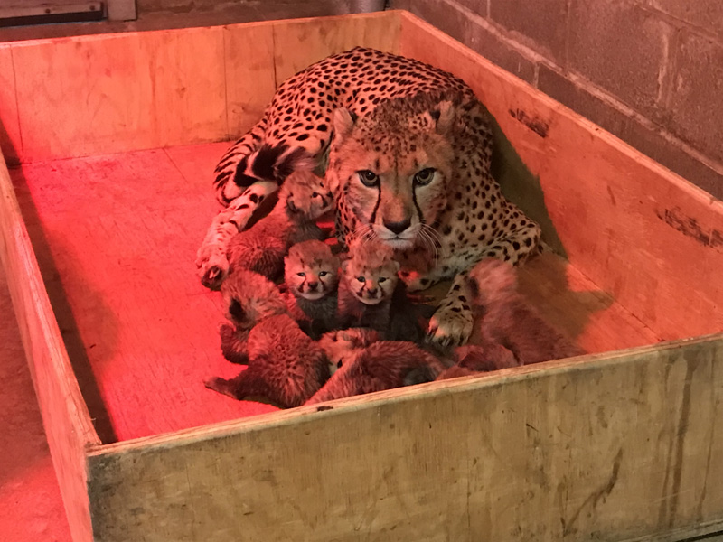 10_Cheetah cubs 2 weeks old 12-12-17_credit Saint Louis Zoo_web