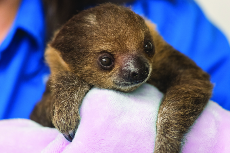 3_National Aviary_Baby Sloth Close Up_Jamie Greene