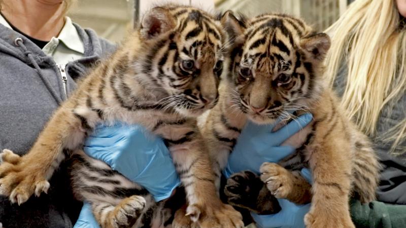 Tiger-cubs-5