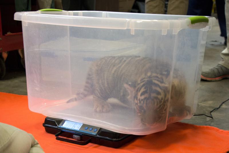 Tiger-cubs-4