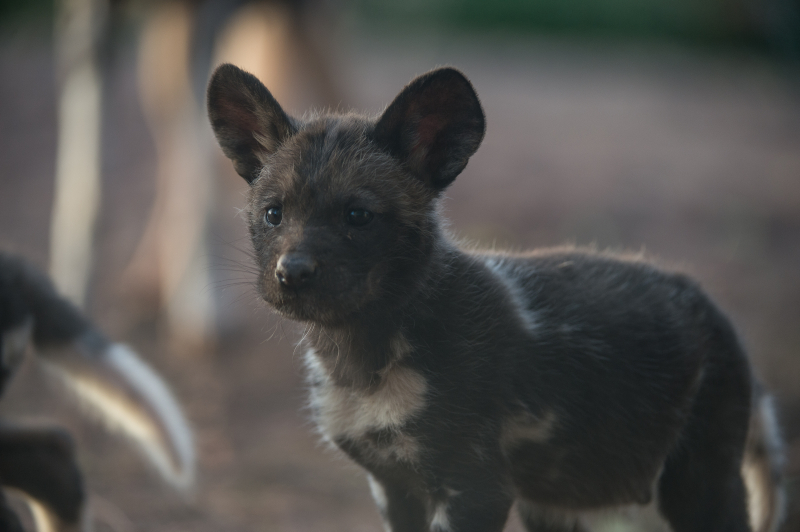 Rare African painted dog pups make their playful debuts at Chester Zoo (18)