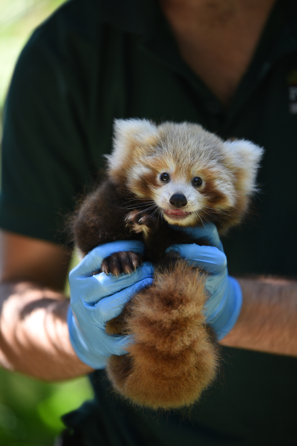 Red Panda Cub Helps Shed Light Rescue Efforts Zooborns