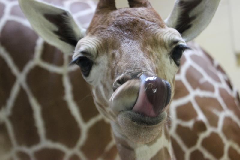 3_Peoria Zoo Giraffe Calf