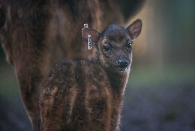 3_Adorable rare Philippine spotted deer makes Chester Zoo debut (1)