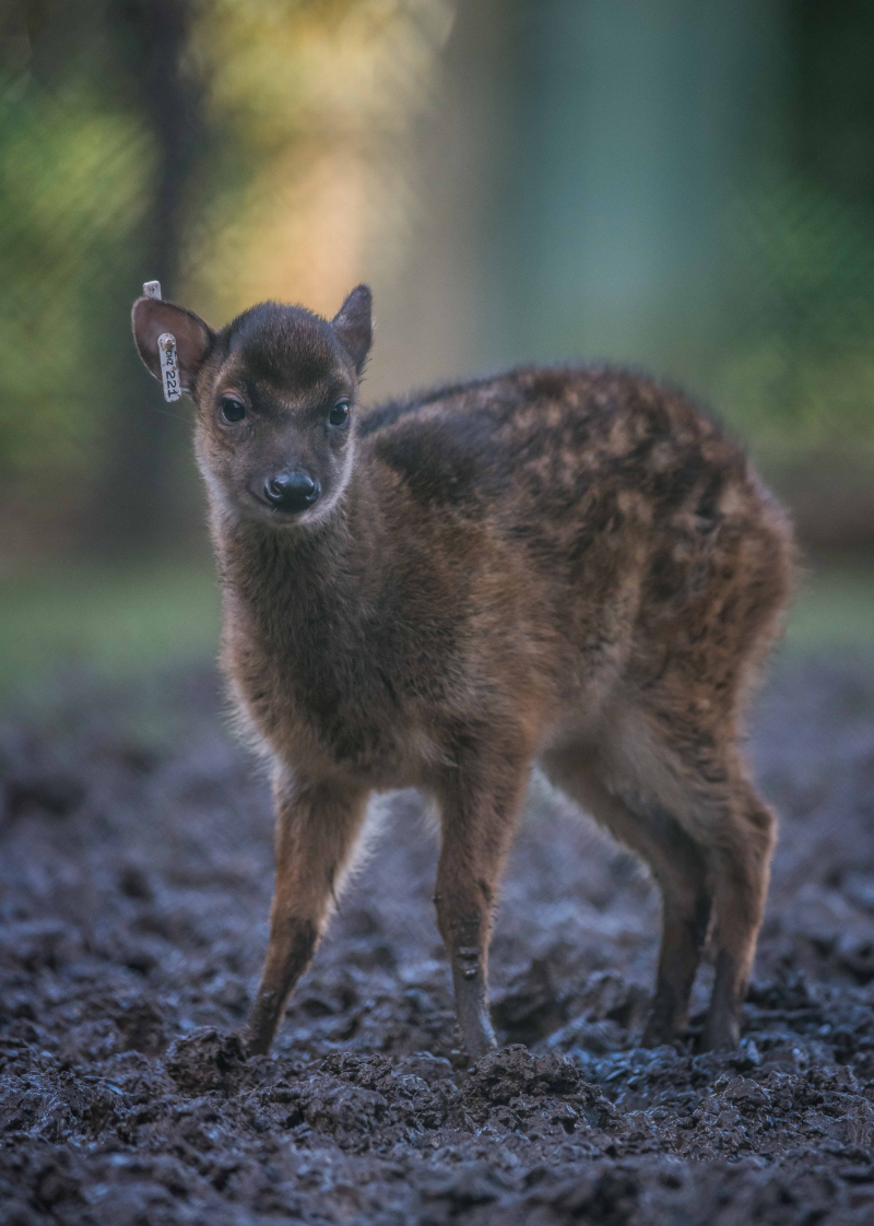 5_Adorable rare Philippine spotted deer makes Chester Zoo debut (3)