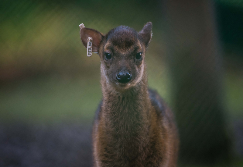 7_Adorable rare Philippine spotted deer makes Chester Zoo debut (6)