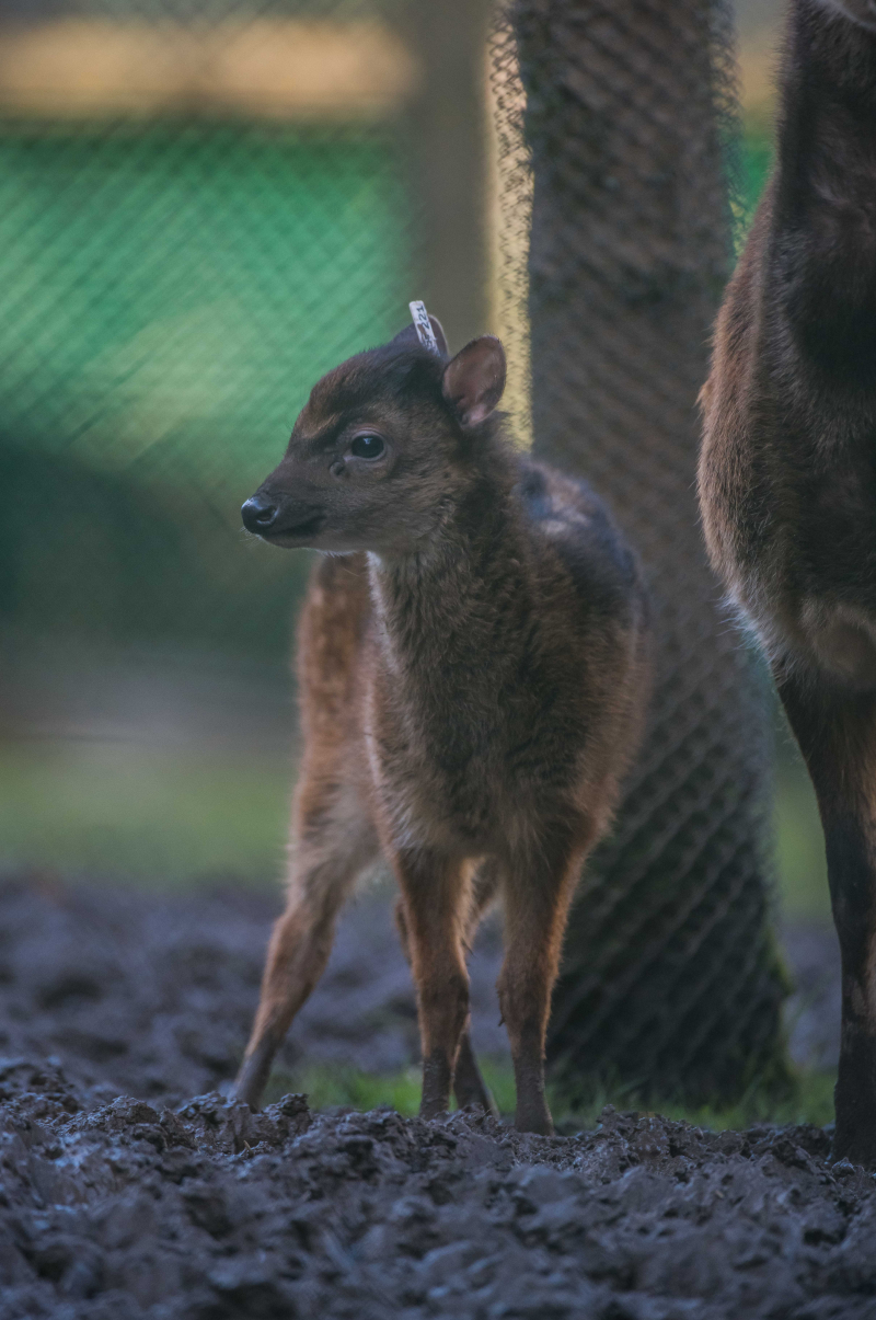 8_Adorable rare Philippine spotted deer makes Chester Zoo debut (11)