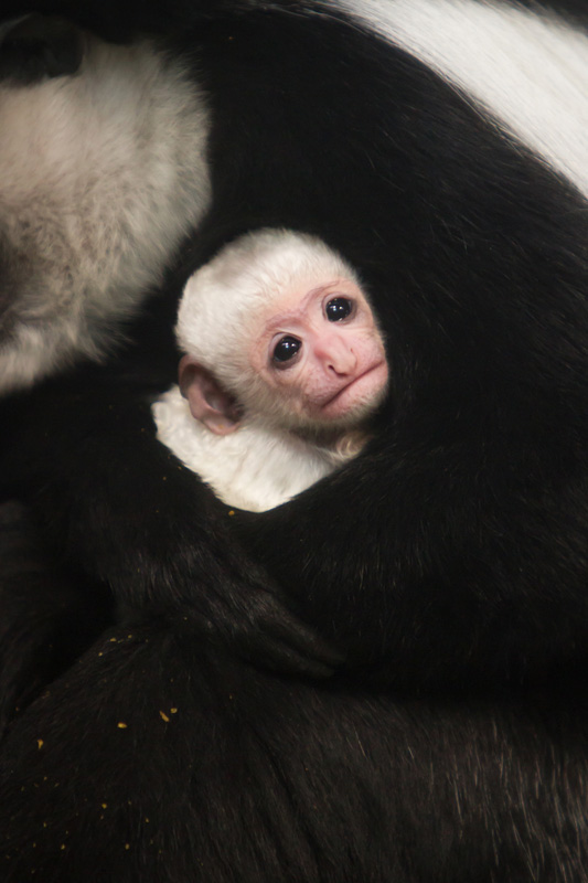 Colobus_baby_2018_3_Credit_Ethan_Riepl_Saint_Louis_Zoo_web