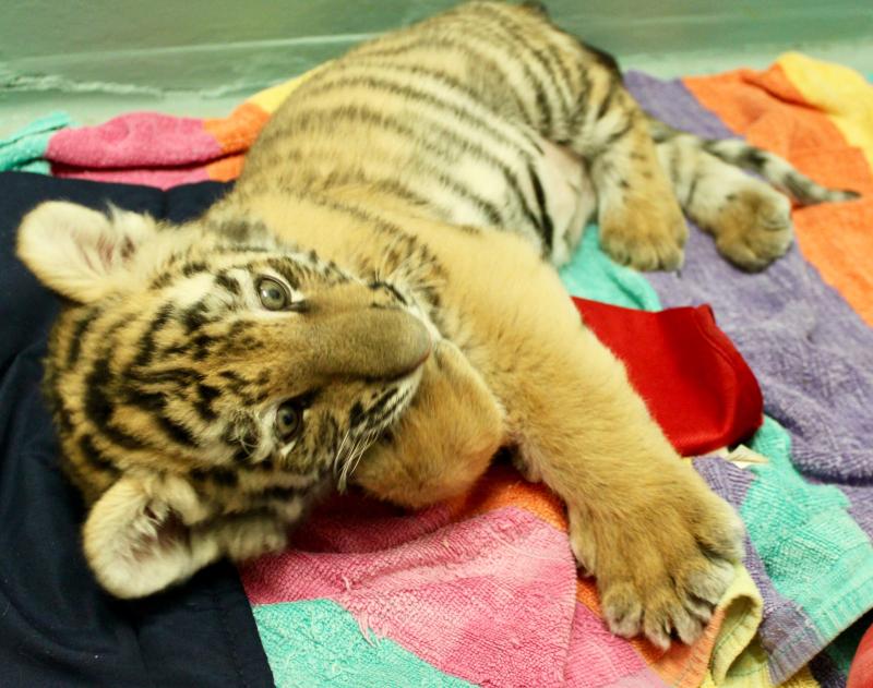 Tiger Cub Reka