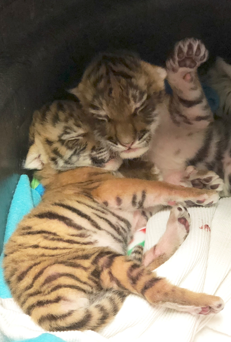 Tiger cubs with raised paw