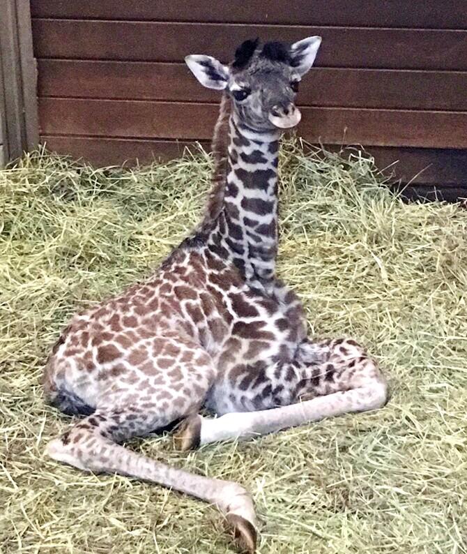 KCZoo Giraffe Calf 2