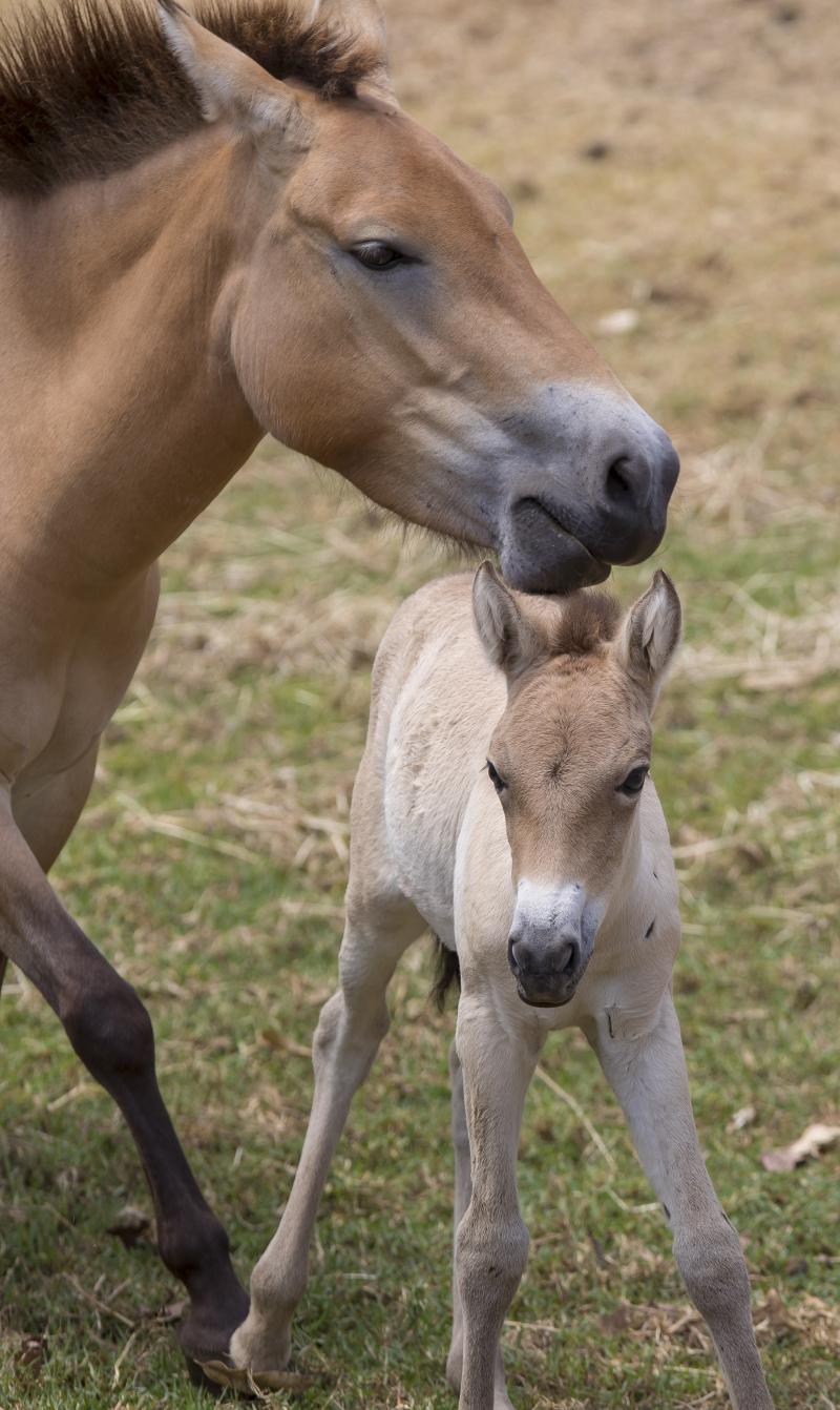 1_Przewalski's Horse foal