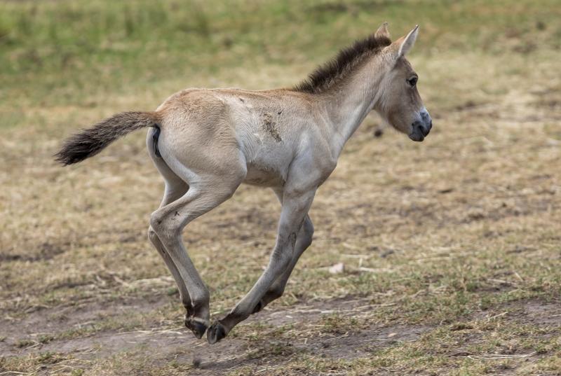 4_Przewalski's Horse foal