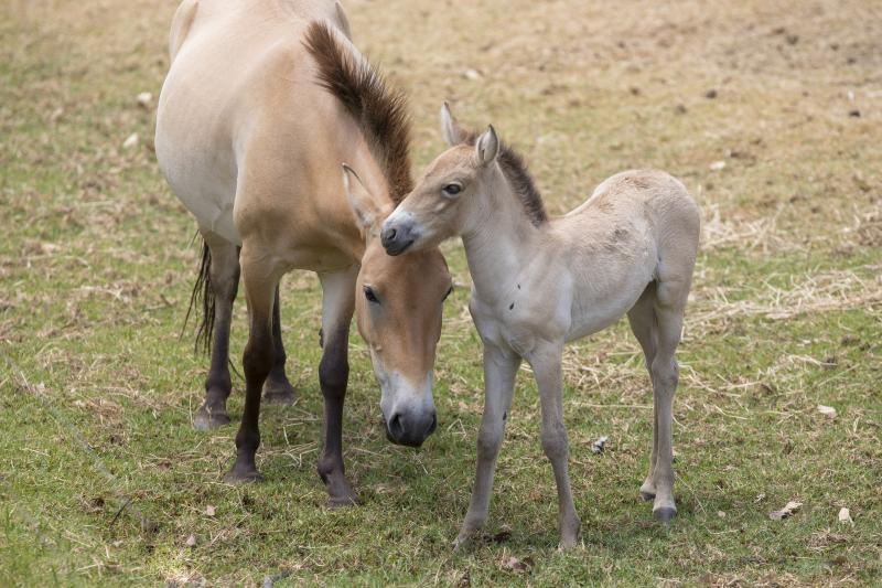 5_Przewalski's Horse foal