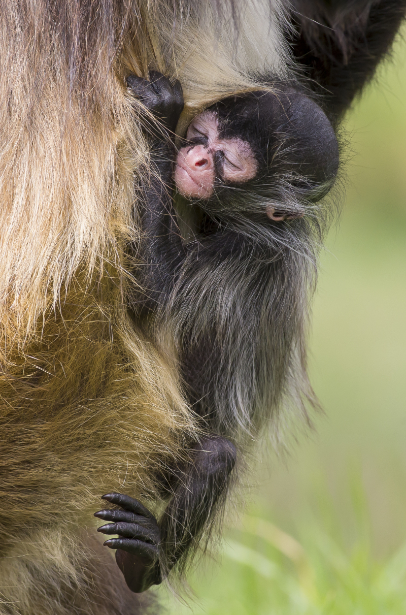3 - Spider Monkey baby born 21 Dec 2017