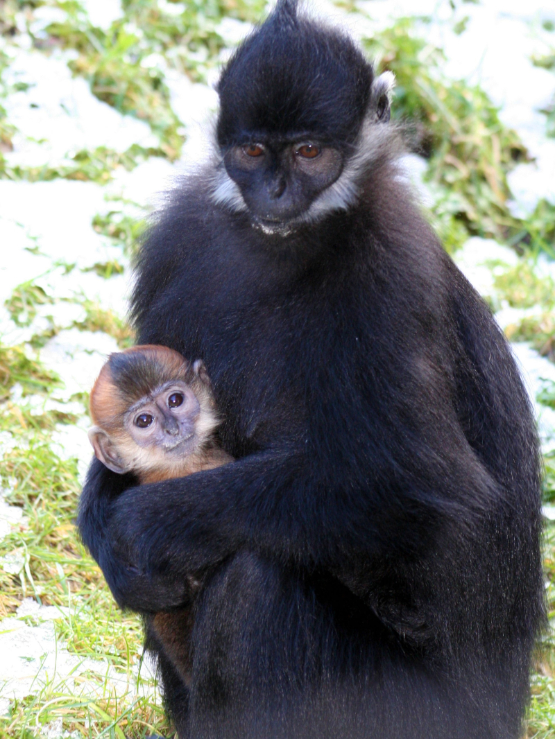 (1) Endangered Francois langur finally makes his first appearance at Belfast Zoo!