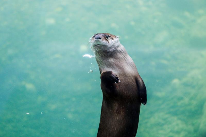 4_New Otter Mom Nkeke