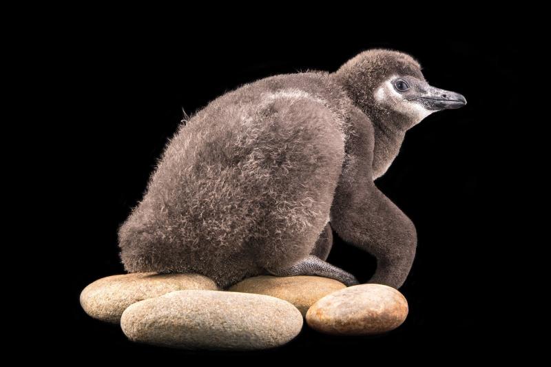 2_Penguin chick