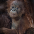 1_Chester Zoo's latest orangutan arrival has been named Kesuma by primate keepers (2)
