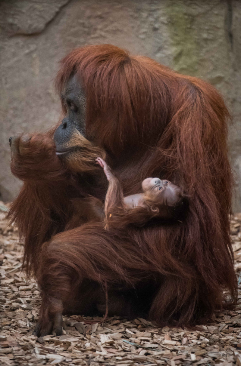 3_Chester Zoo's latest orangutan arrival has been named Kesuma by primate keepers (4)