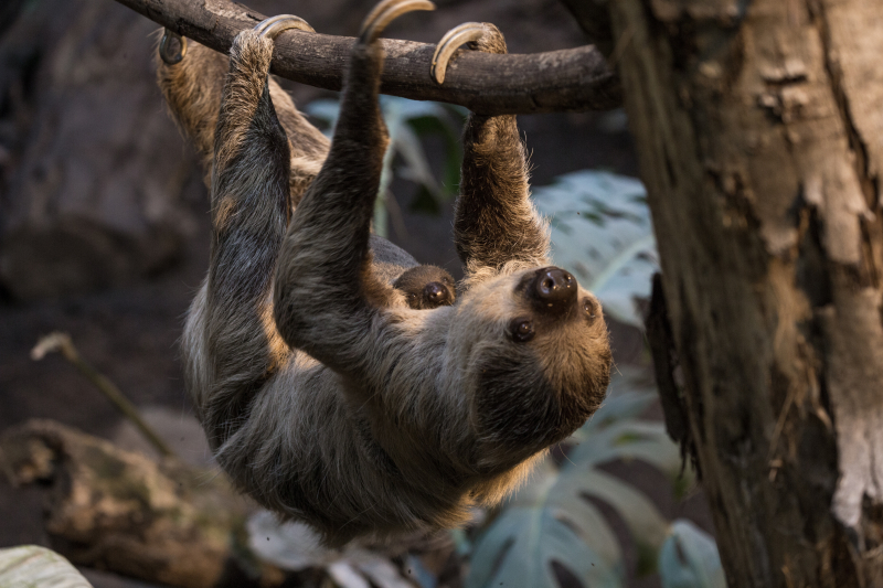 3_Marilyn and Lento - two-toed sloths (c) ZSL London Zoo (2)