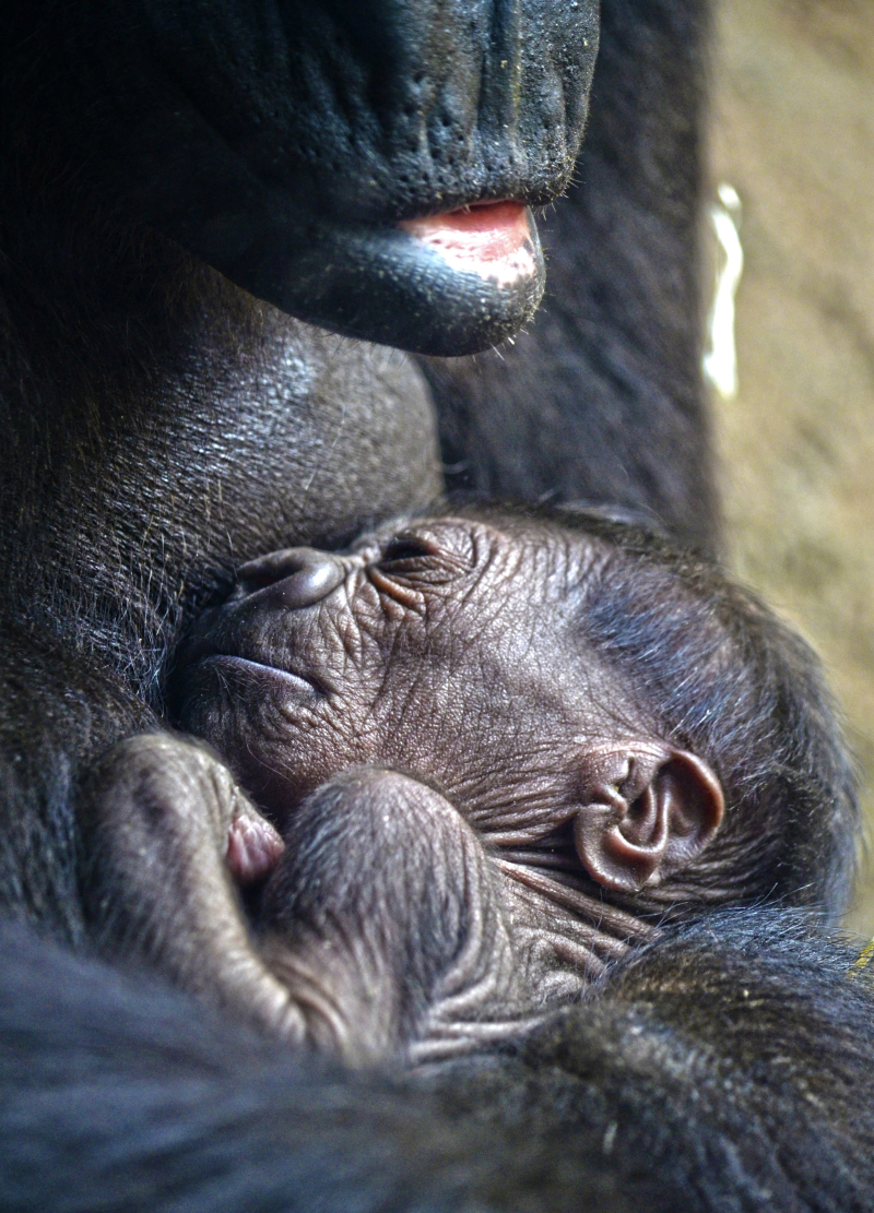 14 de marzo 2018 - La gorila Fossey y su bebé recién nacido - BIOPARC Valencia (2)-min
