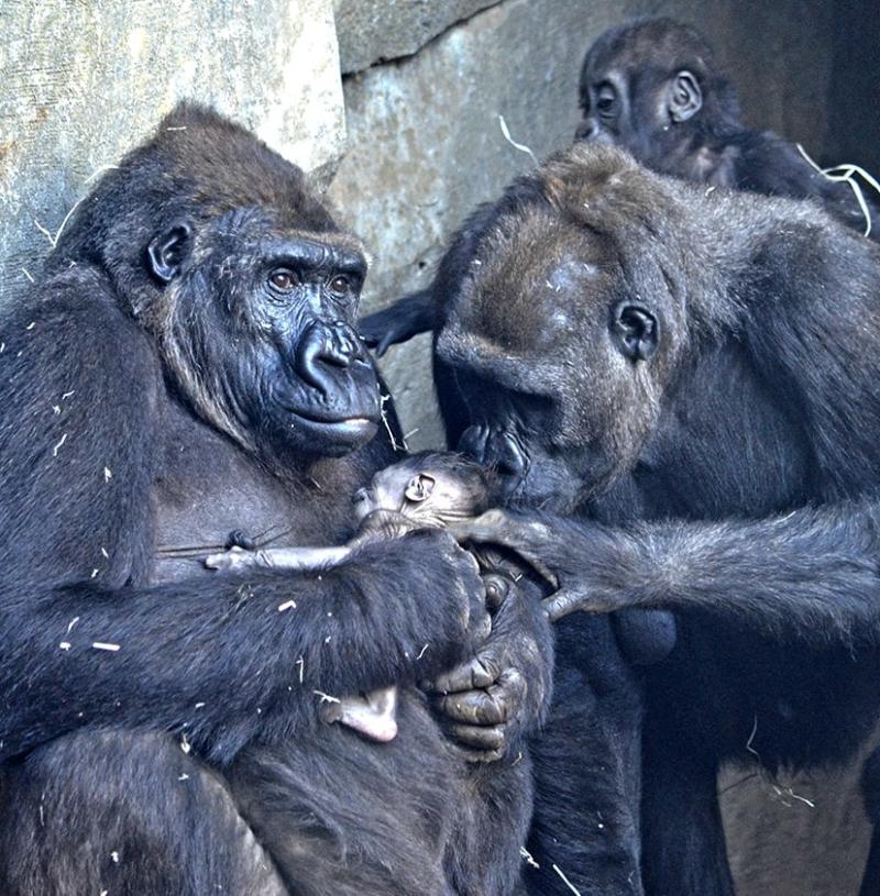 8-marzo-nace-el-cuarto-gorila-valenciano-en-BIOPARC