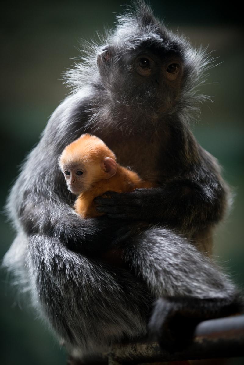 7_Langur Baby 2018 6543 - Grahm S. Jones  Columbus Zoo and Aquarium