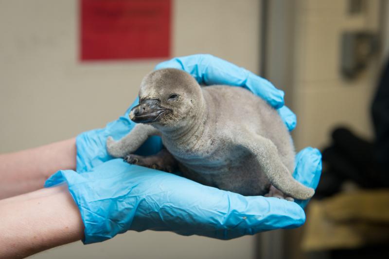 8_Penguin Chick 2574 - Grahm S. Jones  Columbus Zoo and Aquarium