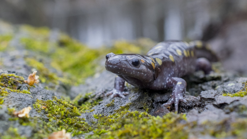 Spotted Salamander on moss 2