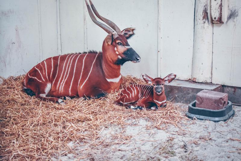 4_Virginia Zoo Bongo 2