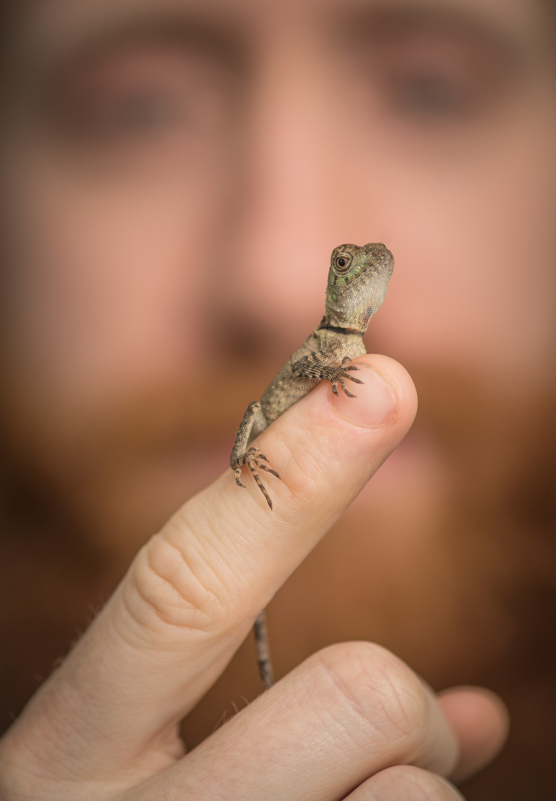 2_Rare baby forest dragons hatch at Chester Zoo. Pictured with zookeeper Nathan Wright (3) (1)