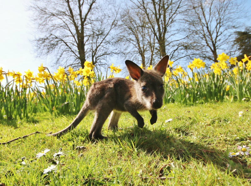 Newt the baby wallaby in the spring sunshine at Longleat  PIC Ian Turner (1500x1000)