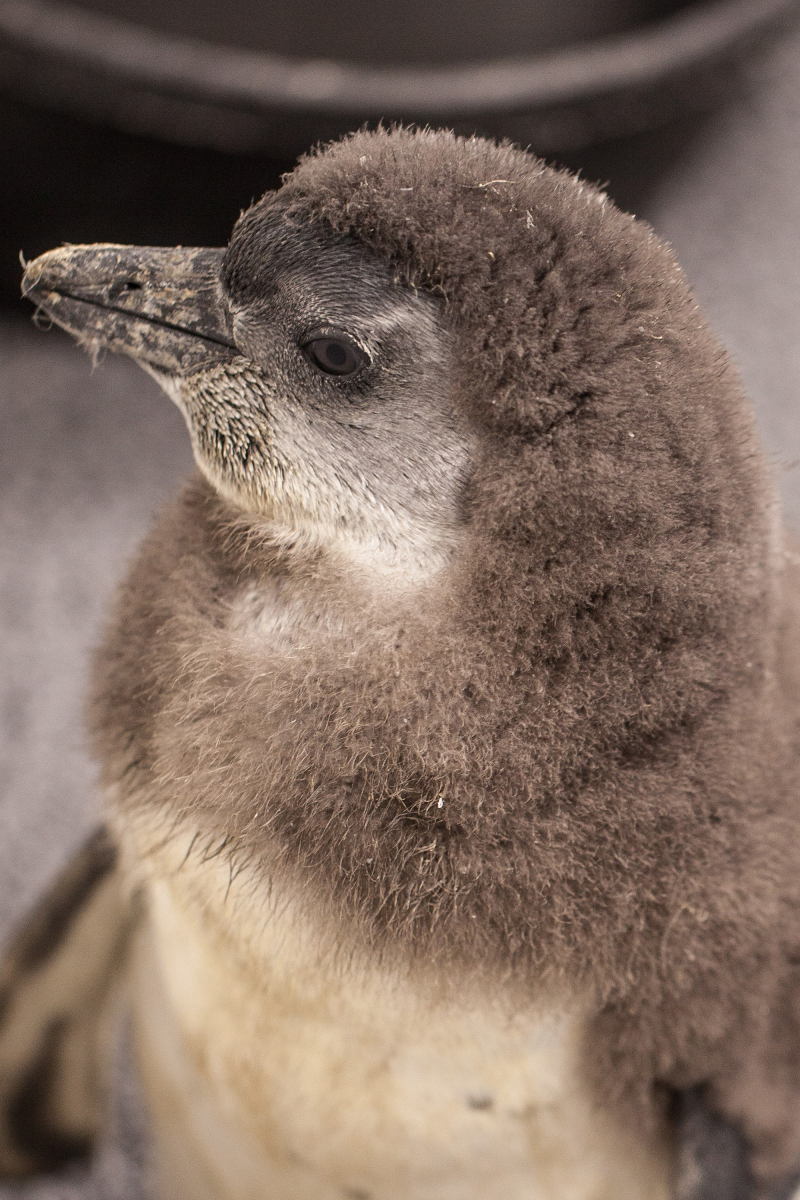 3_20180403_CB_penguin chick-crop-3