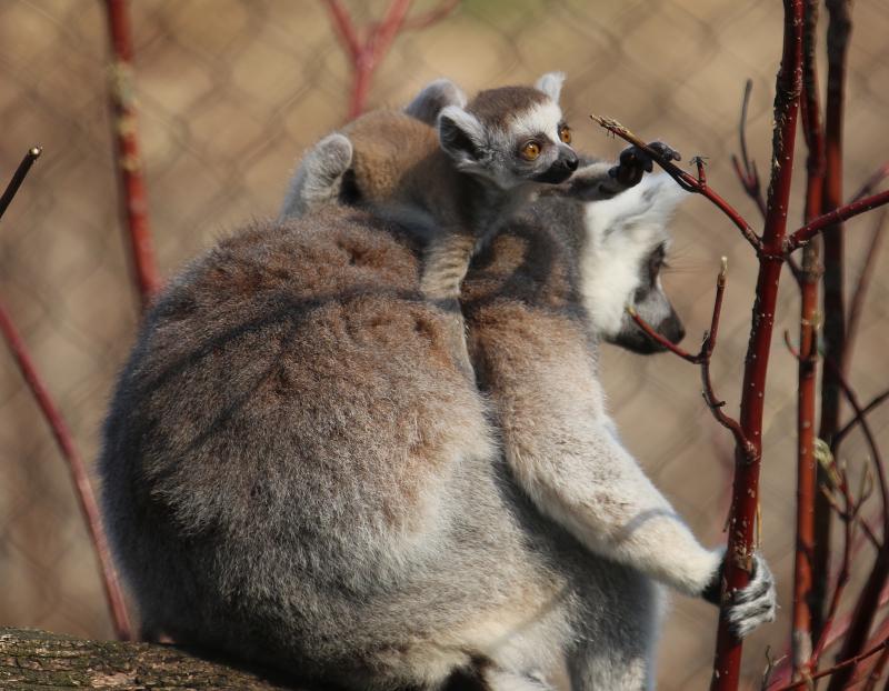 Lemur Baby with branch 2018-Carla Knapp