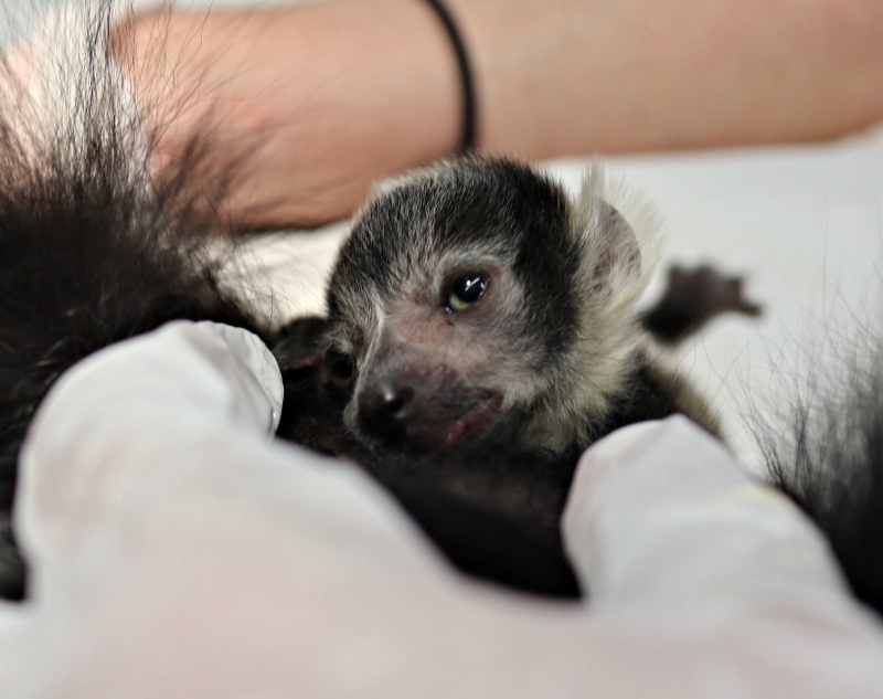 White belted ruffed lemur baby - Wild Place Project (3)
