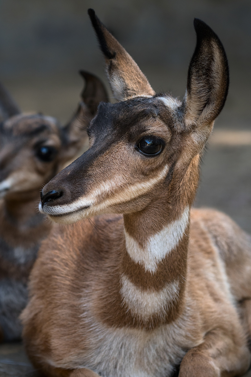 1.2 pronghorn fawn photo by Jamie Pham