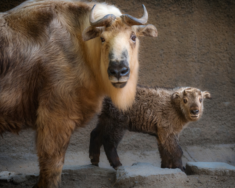 3.5 takin calf with adult female photo by Jamie Pham