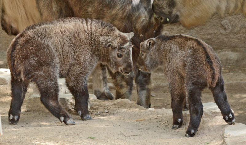 3.5 takin calf with adult female photo by Jamie Pham