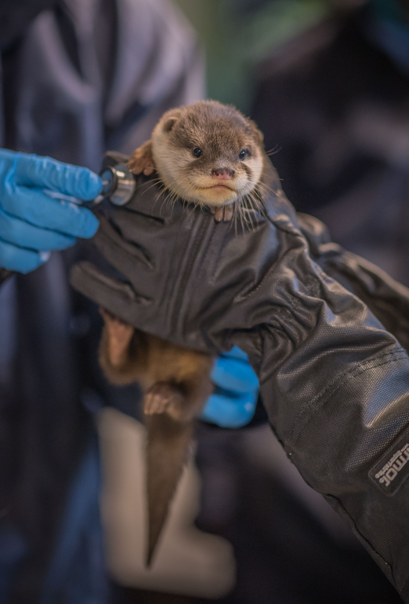 1_Vets give a clean bill of health to five newborn Asian short-clawed otter pups at Chester Zoo (8)