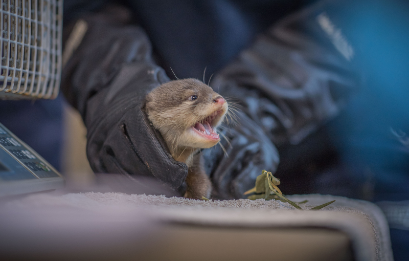 6_Vets give a clean bill of health to five newborn Asian short-clawed otter pups at Chester Zoo (14)