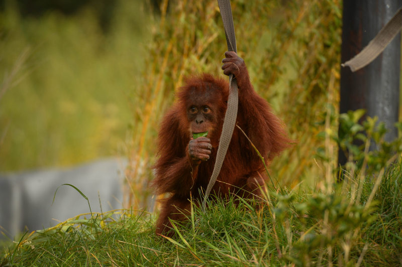 2_Mischievous Sumatran orangutan Tuti pesters her aunt in the most adorable way at Chester Zoo (1)