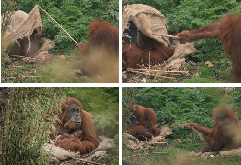 4_Adorable video shows young orangutan poking her aunt with sticks at Chester Zoo