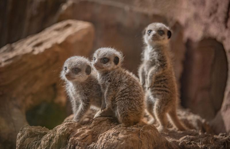 Four playful meerkat pups born at Chester Zoo (57)