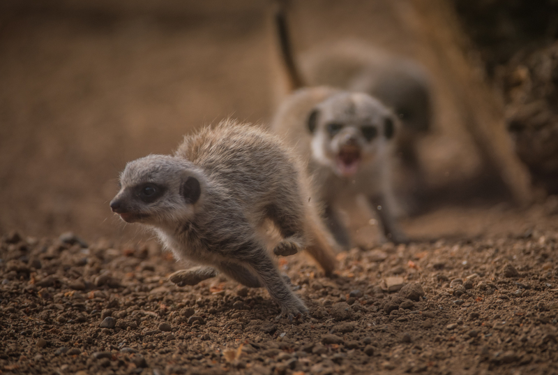 Four playful meerkat pups born at Chester Zoo (5)