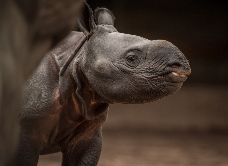 6_Rare greater one-horned rhino born at Chester Zoo (10)